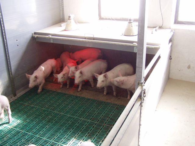 Как сделать пол для свиней своими руками 5